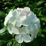 Hydrangea macrophylla Angel Light (1)