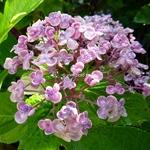 Hydrangea macrophylla Ayesha (3)