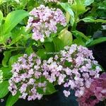Hydrangea macrophylla Ayesha (2)