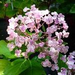 Hydrangea macrophylla Ayesha (4)