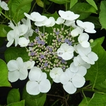 Hydrangea macrophylla Libelle (3)