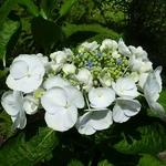 Hydrangea macrophylla Libelle (5)