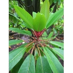 daphniphyllum%20macropodum%20(1)