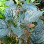 Hydrangea macrophylla Merveille Sanguine (8)