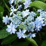 Hydrangea macrophylla Romance (1)