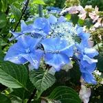 Hydrangea macrophylla Zorro (2)