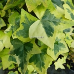 Hedera helix Yellow Ripple