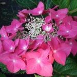 Hydrangea macrophylla Grasmucke (3)