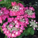 Hydrangea macrophylla Grasmucke (4)