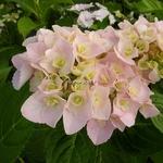 Hydrangea macrophylla Love (2)