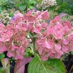 Hydrangea macrophylla Love (3)