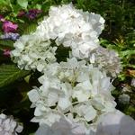 Hydrangea macrophylla Pirouette
