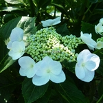 Hydrangea macrophylla Soraya (8)