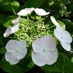Hydrangea macrophylla Soraya (4)