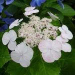 Hydrangea macrophylla Soraya (6)