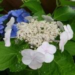 Hydrangea macrophylla Soraya (7)
