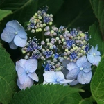 Hydrangea serrata Annie's Blue
