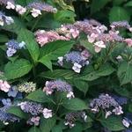 Hydrangea serrata Annies Blue (2)