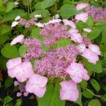 Hydrangea serrata Avelroz (4)
