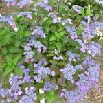 Hydrangea serrata Avelroz (3)