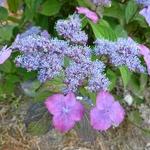 Hydrangea serrata Avelroz (2)