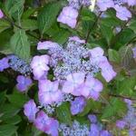 Hydrangea serrata Avelroz (1)