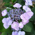 Hydrangea serrata Beni Yama (2)