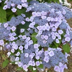 Hydrangea serrata Beni-yama (2)