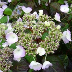 Hydrangea serrata Beni Yama (5)