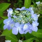 Hydrangea serrata Bleuet (2)