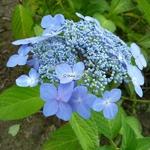 Hydrangea serrata Bleuet (3)