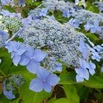 Hydrangea serrata Bleuet (7)