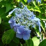 Hydrangea serrata Bleuet