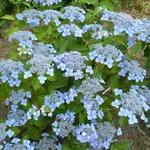 Hydrangea serrata Bleuet (6)