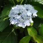 Hydrangea serrata Blue Deckle (4)