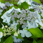 Hydrangea serrata Blue Deckle (3)