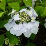 Hydrangea serrata Blue Deckle (2)