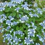 Hydrangea serrata Curtis Legacy (4)
