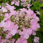 Hydrangea serrata Graciosa (2)
