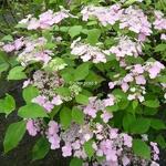 Hydrangea serrata Graciosa (4)