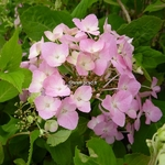 Hydrangea serrata Graciosa