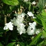 Hydrangea serrata Hakucho