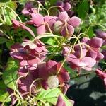 Hydrangea serrata Hakucho (5)
