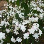 Hydrangea serrata Hakucho (6)