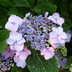 Hydrangea serrata Hallasan (1)