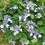 Hydrangea serrata Hallasan (2)