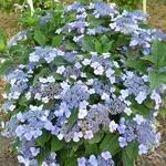 Hydrangea serrata Hallasan (4)