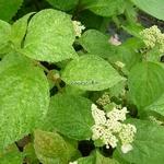 Hydrangea serrata Kokonoe (2)