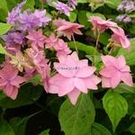 Hydrangea serrata Mikata Yae (2)