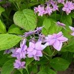 Hydrangea serrata Mikata Yae (5)